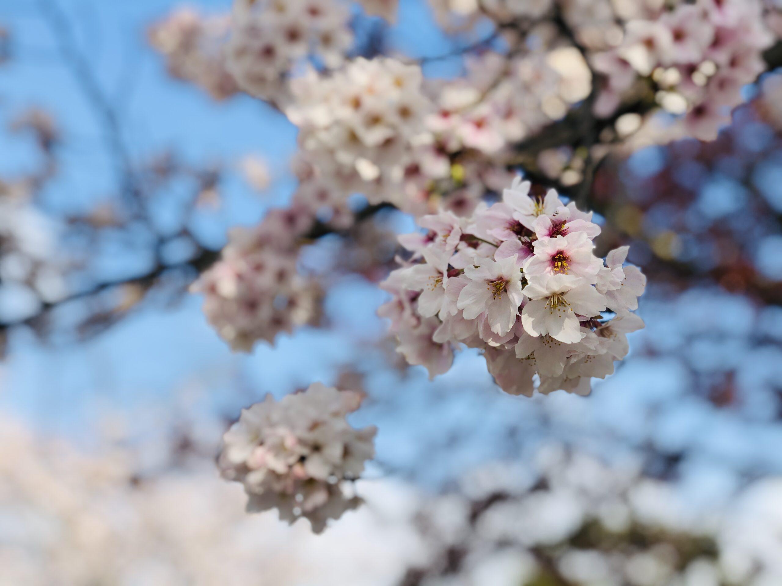 もうすぐ桜の開花です🌸