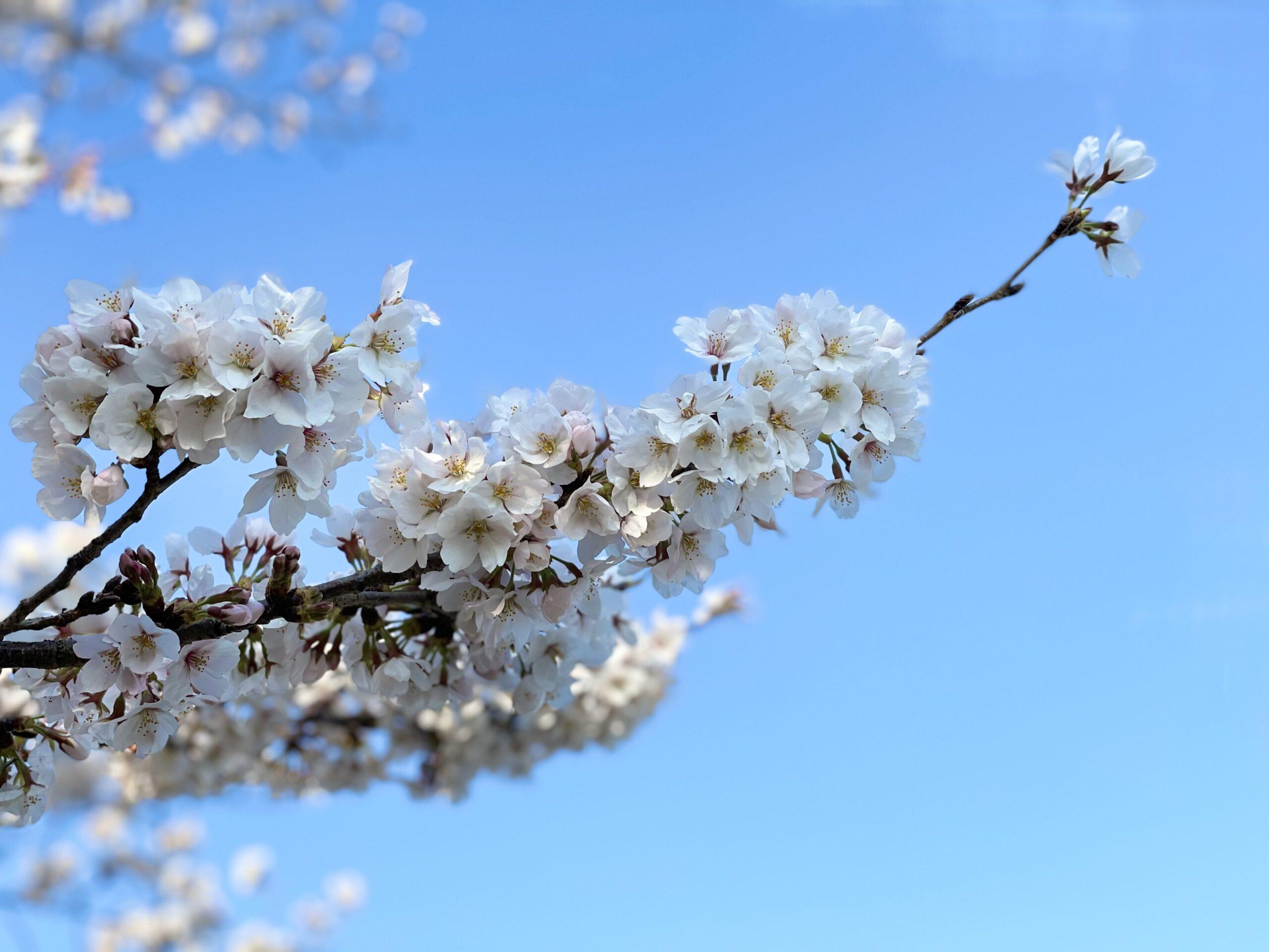 今朝の桜🌸