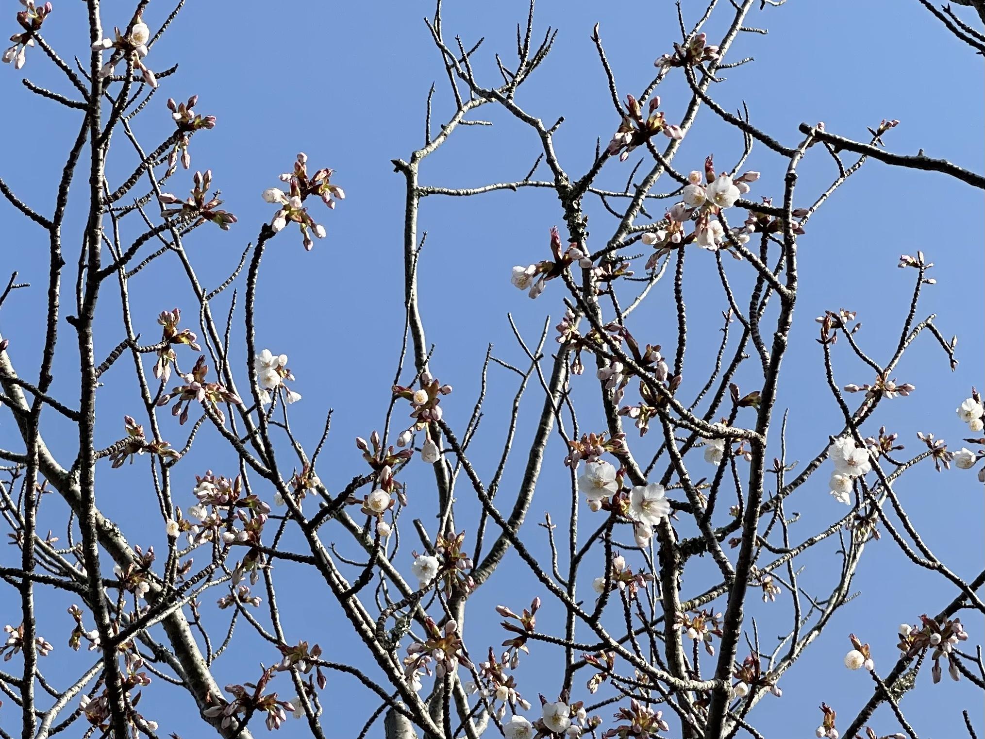 嵐山桜情報🌸